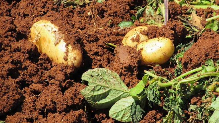 The humble potato is a joy to grow