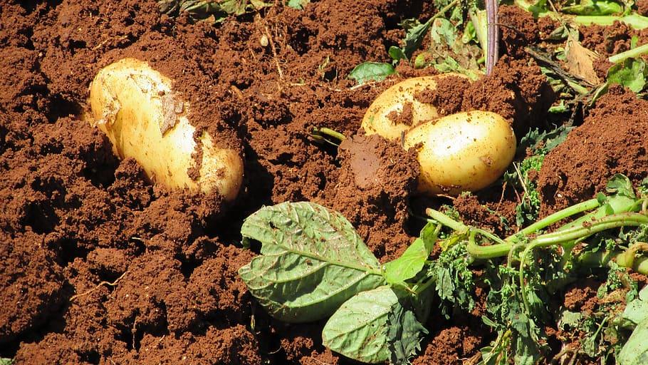 The humble potato is a joy to grow